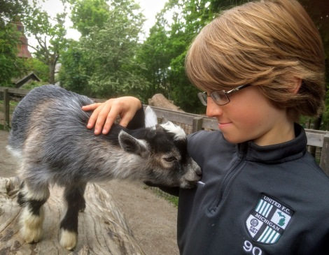 Skansen petting zoo, also a clever way to get visitors to feed the animals